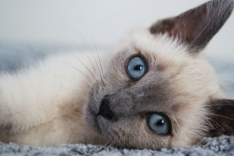 Wallpapers Animals Cats - Kittens Bonny - White blue eye