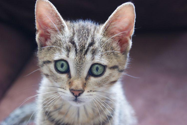 Wallpapers Animals Cats - Kittens Mia - tiger cat