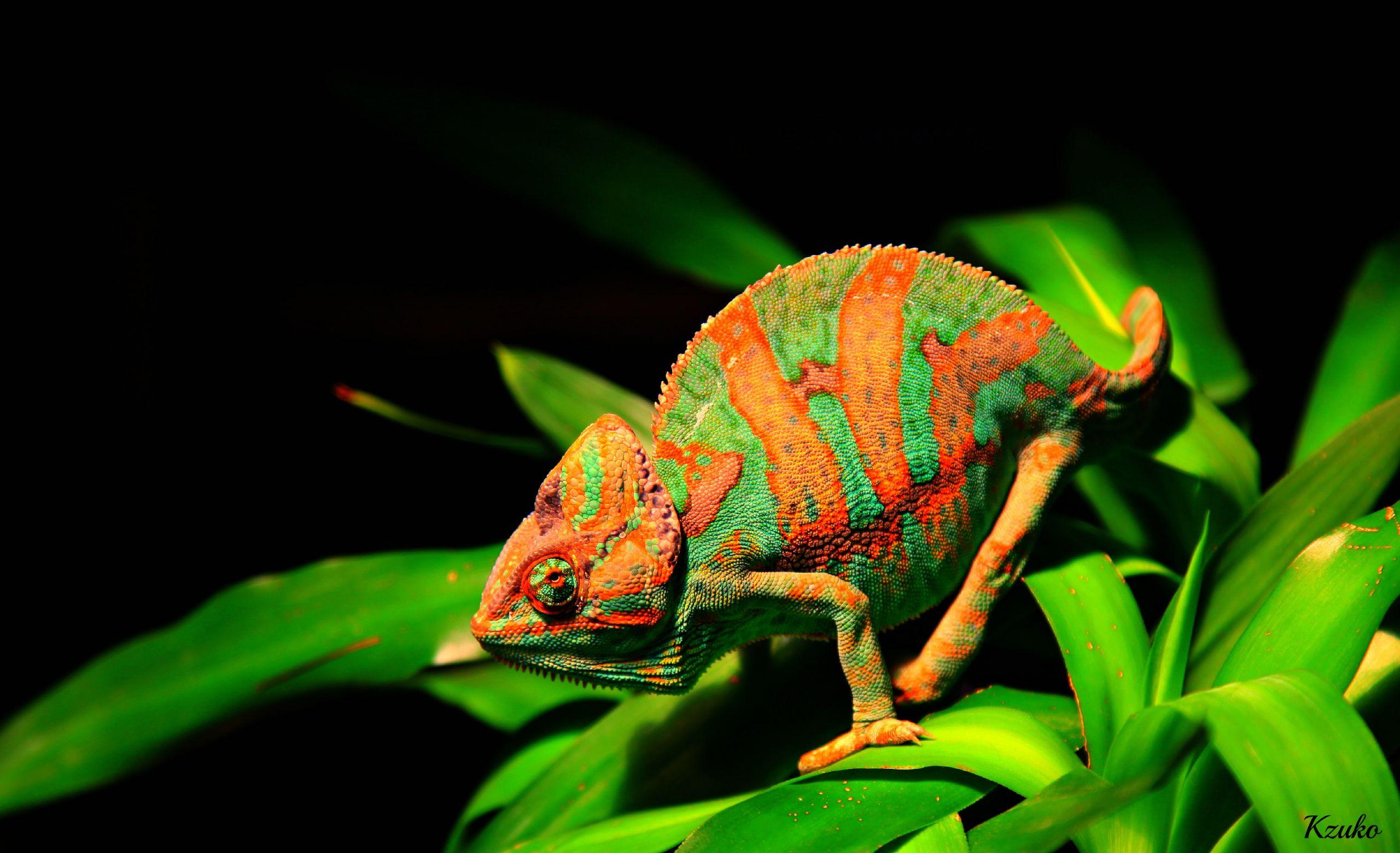 Wallpapers Animals Chameleons Rango