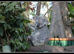 Animaux Koko le Koala