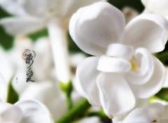 Nature fleurs de lilas