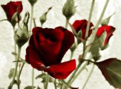 Nature Roses colorisées