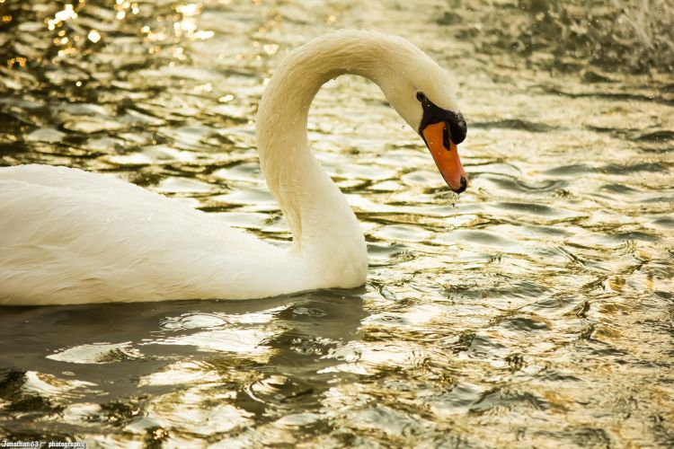Wallpapers Animals Birds - Swans Cygne.