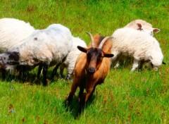 Animals Sheep and nanny-goat
