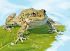 Animals Grenouille verte
