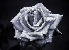 Nature Rose en Noir & Blanc