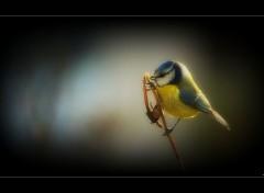 Animaux Mésange bleue