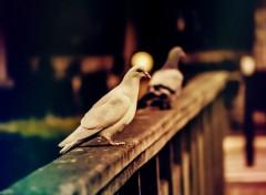 Fonds d'écran Animaux Pigeons