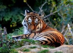 Animaux Jeune tigre de Sibérie