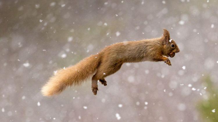 Wallpapers Animals Rodents - Squirrels Écureuil Roux d'Eurasie