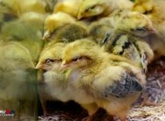 Animaux Poussins à moitié endormis 2015-04