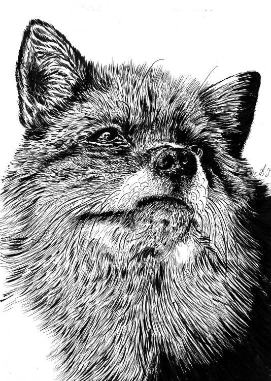 Fonds d'écran Art - Crayon Animaux - Divers fox