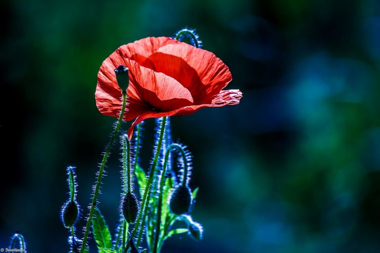 Wallpapers Nature Flowers Coquelicot