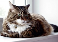 Animaux chat de race Maine Coon