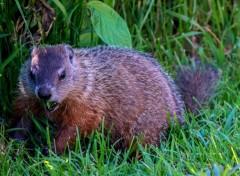Animaux Marmotte