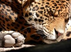Animals Félin endormi