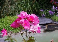Nature Roses