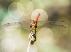 Animaux libellules écarlate