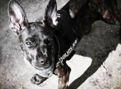 Animals bulldogg, jack russel mix puppy