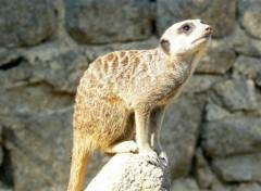 Animals Suricate - Safari de peaugres