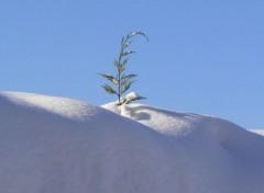 Nature Cyprès qui perce la neige