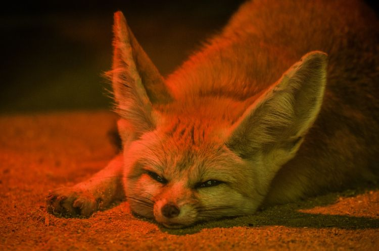 Fonds d'écran Animaux Fennec Wallpaper N°434434