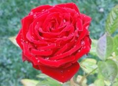 Nature Rose perlée