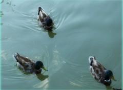 Animals Trois jolis canards...
