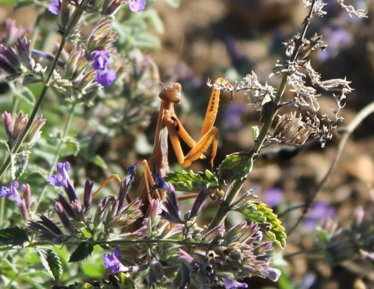 Wallpapers Animals Insects - Mantis Monte religieuse