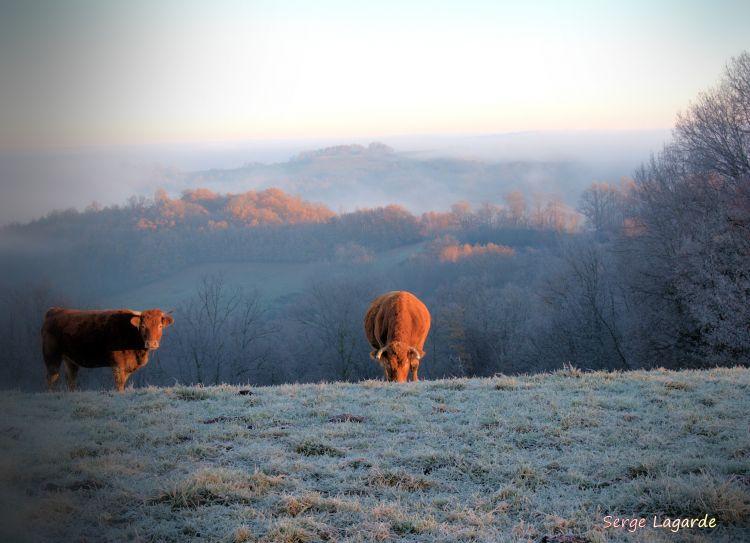 Wallpapers Animals Cows - Bulls - Beef vaches et le brouillard
