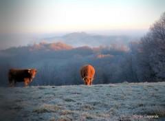 Animaux vaches et le brouillard