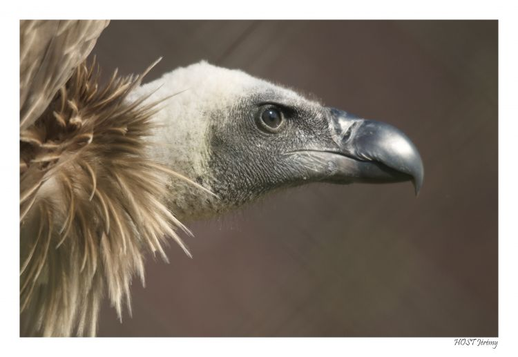 Wallpapers Animals Birds - Vultures Vautour