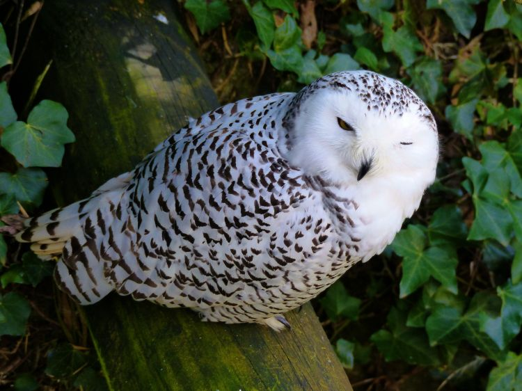 Wallpapers Animals Birds - Owls Chouettes