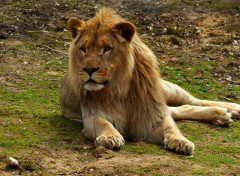 Animaux Lion