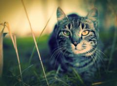 Animaux Chat tigré