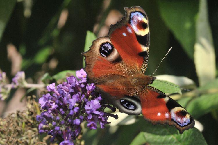 Fonds d'écran Animaux Insectes - Papillons Paon du jour