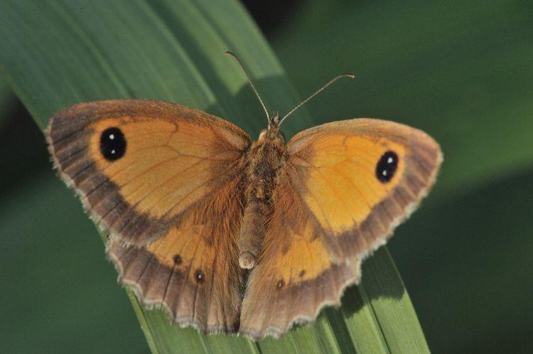 Fonds d'écran Animaux Insectes - Papillons Amaryllis