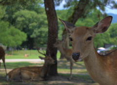 Animaux Deer at Nara