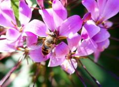 Animaux ABEILLE qui butine une fleur