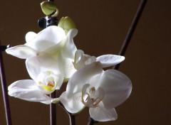 Nature jacinthe